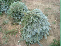 Boughs are harvested and tied in 40 pound bundles.