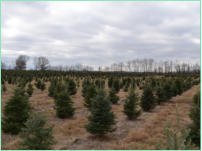 Balsam Fir Christmas Tree Plantation - notice weed control