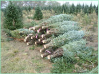 Fraser Fir Trees harvested with a Howey Twine Baler - notice the bottom tree tags