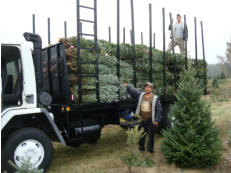 Field Workers loading our delivery truck with Wholesale Trees.
